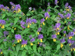 Цветок иван-да-марья: фото с описанием, лечебные свойства